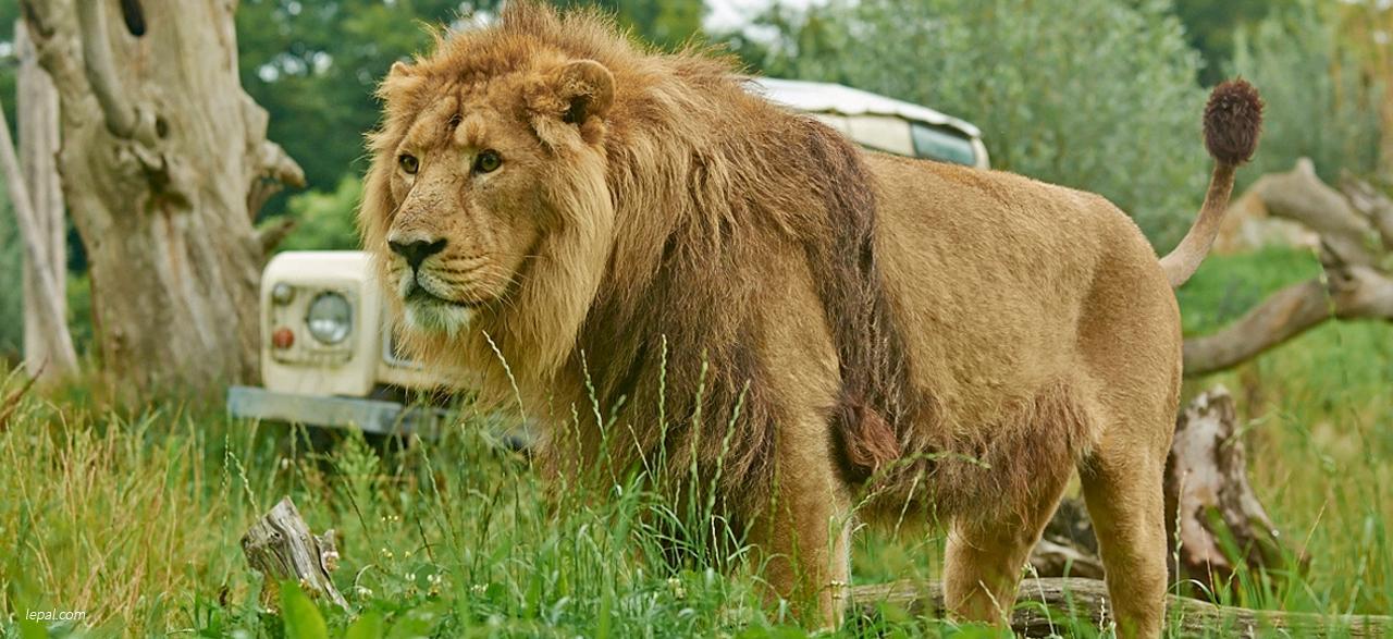 le lion d'asie