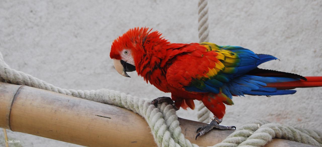 perroquets du Pal